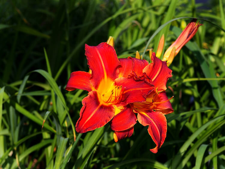 Blooming-Daylily-happyygarden.com