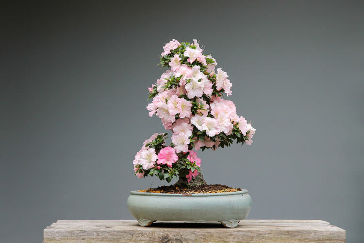 Azalea-Bonsai-happyygarden.com