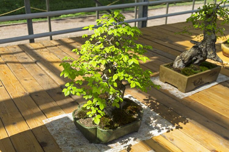 Chinese-Elm-Bonsai-happyygarden.com