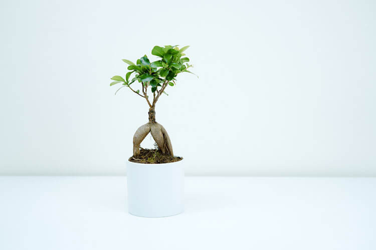 Ficus-Bonsai-happyygarden.com