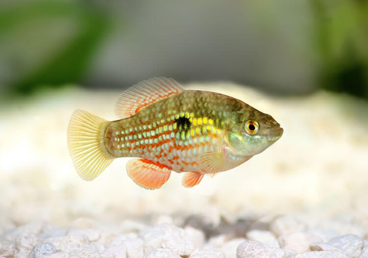 Florida-Flagfish-happyygarden.com
