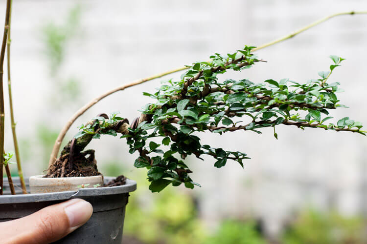 Fukien-Tea-Bonsai-happyygarden.com