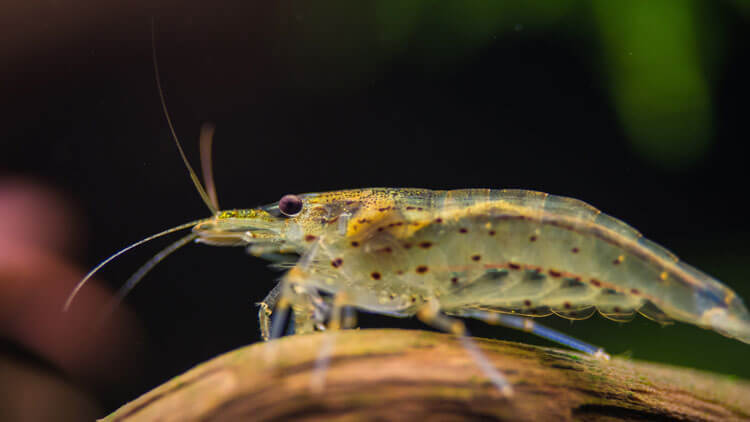 Ghost-Shrimp-happyygarden.com