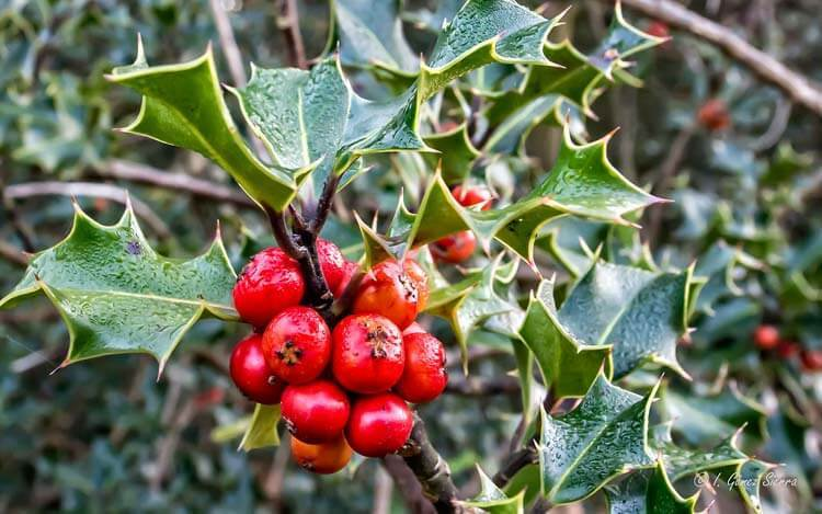 Holly-Shrubs-Happyygarden.com