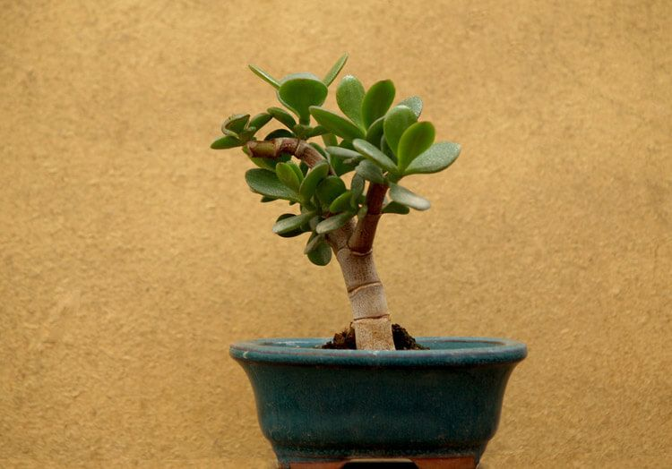 Jade-Bonsai-happyygarden.com