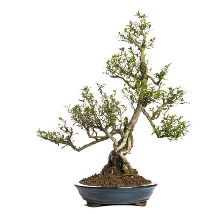 Serissa-Bonsai-happyygarden.com