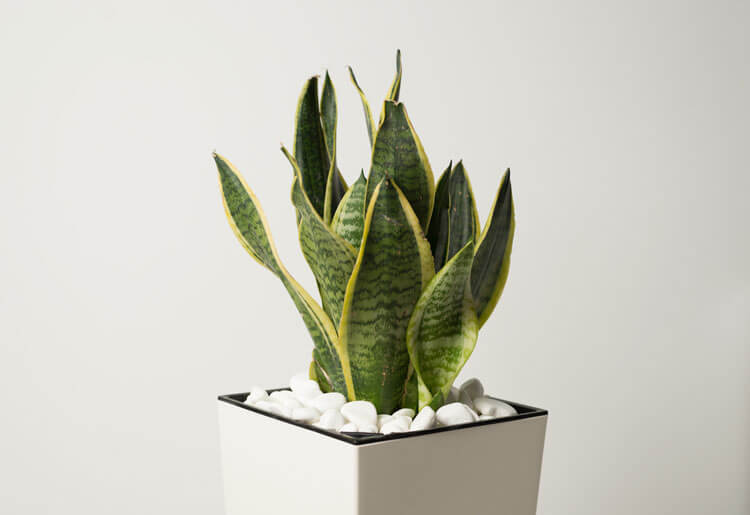 Snake-Plants-Happyygarden.com
