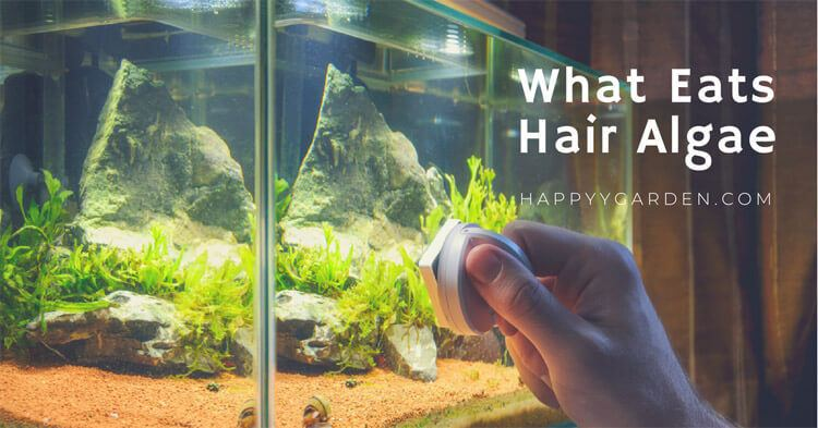 What-eats-hair-algae-happyygarden.com