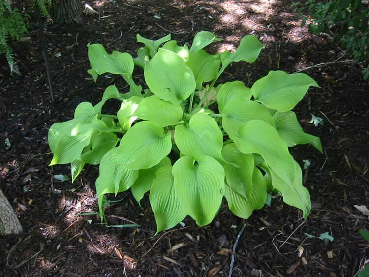 Blonde-Elf-Hosta-happyygarden.com
