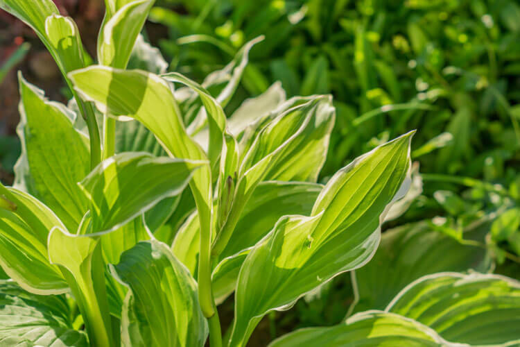 Cherry-Tart-Hosta-happyygarden.com