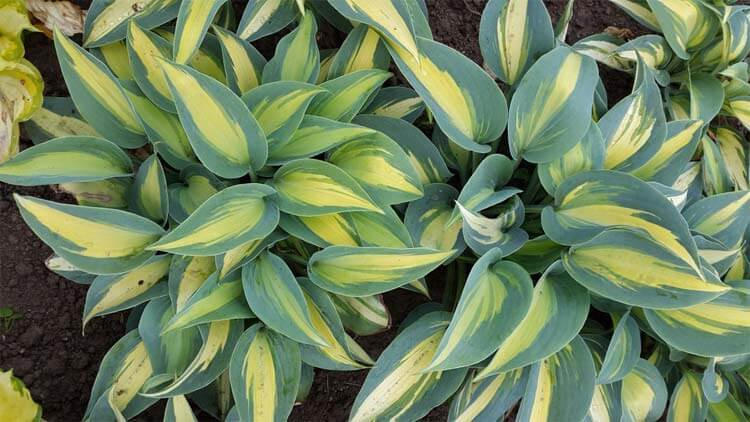 Little-Treasure-Hosta-happyygarden.com