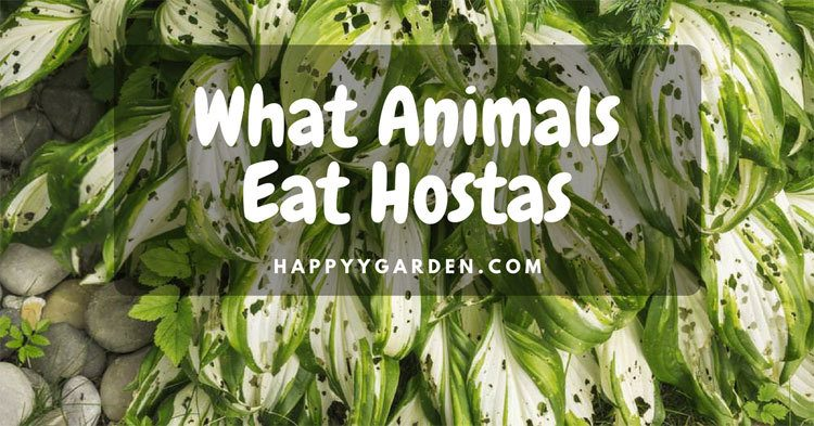 What Animals Eat Hostas