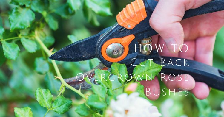 How-To-Cut-Back-Overgrown-Rose-Bushes