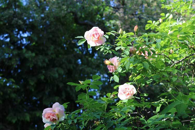 english-rose-bushes