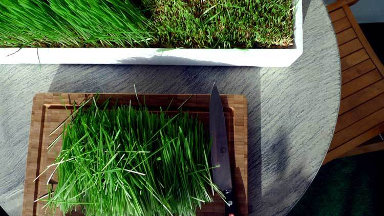 Cutting-up-wheatgrass-before-juicing-it.
