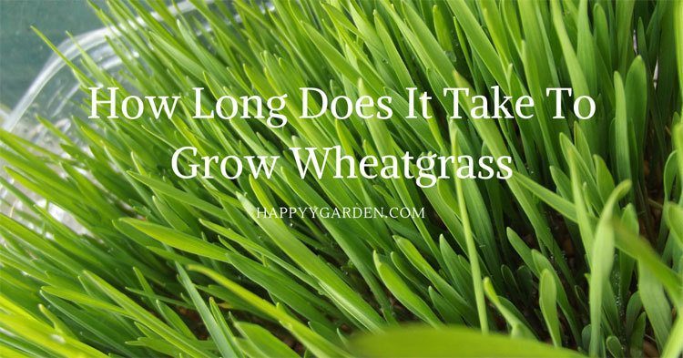 how-long-does-it-take-to-grow-wheatgrass