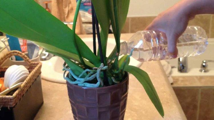 how-to-water-orchids