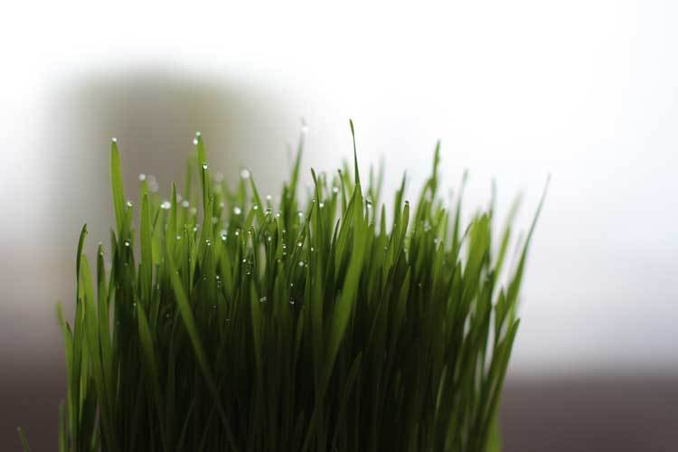 wheatgrass-in-winter-time