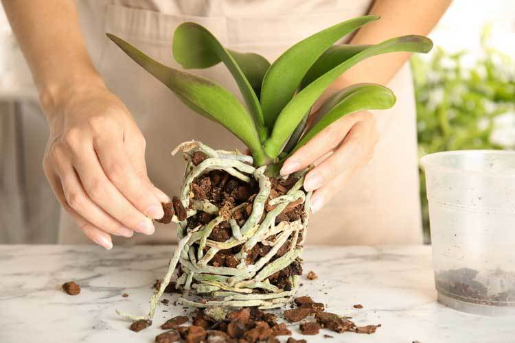 woman-transplanting-orchid-plant-on-table
