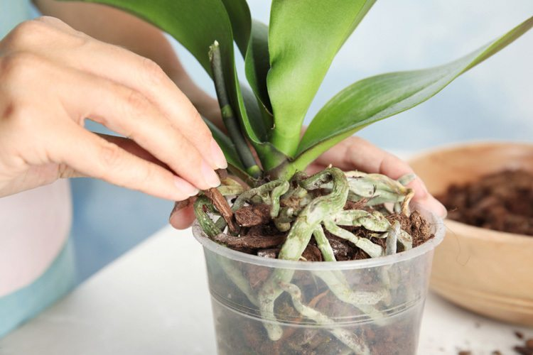 woman-transplanting-orchid-plant
