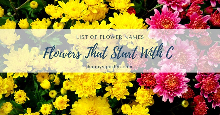 flowers-that-start-with-C