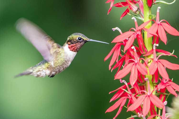 male-rubythroated-hummingbird-on-cardinal-flower