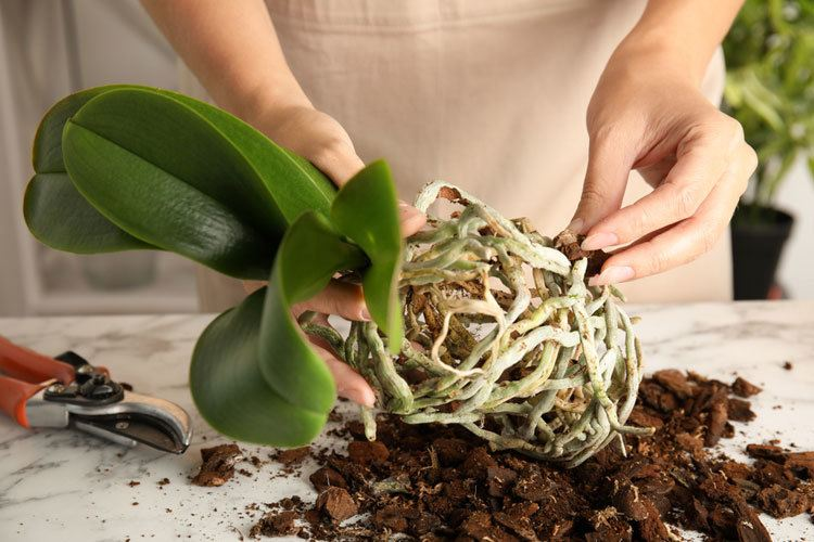 transplanting-an-orchid-in-bark