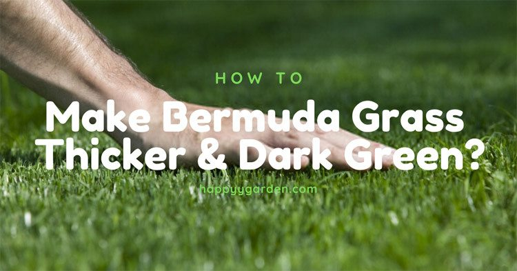 Make-Bermuda-Grass-Thicker-and-Dark-Green