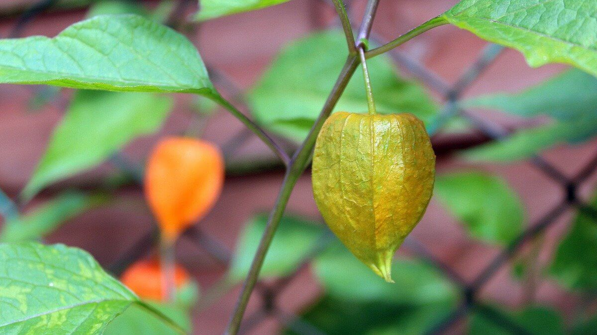 Growing Tomatillos - Featured Image