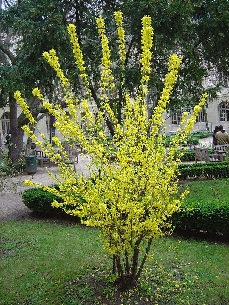 History of Forsythia Hedge