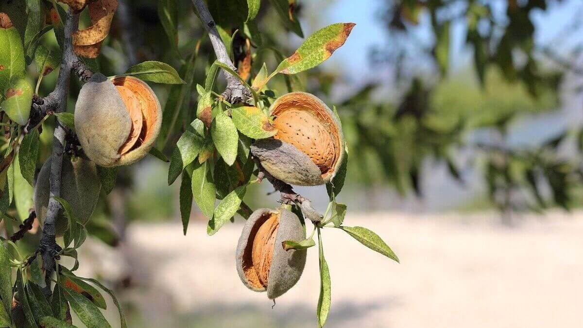 How do Almonds Grow - Featured Image