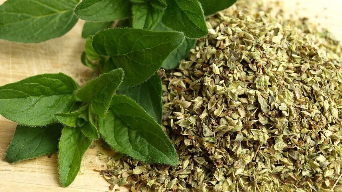 Mexican oregano plants - Featured Image
