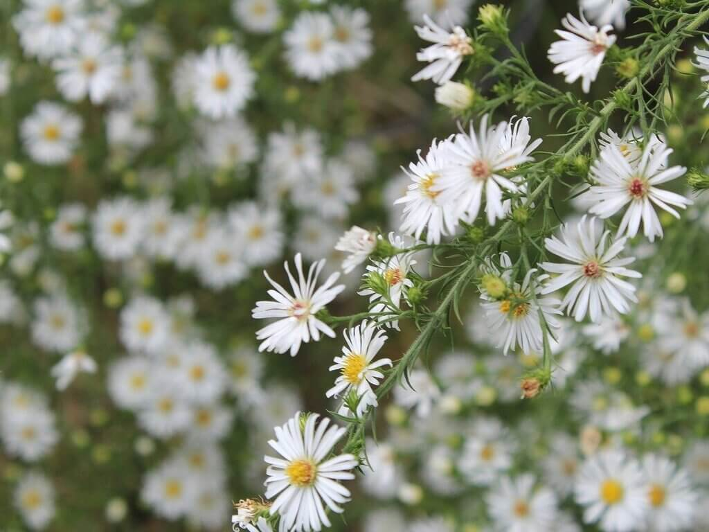 Overview on Calico Aster