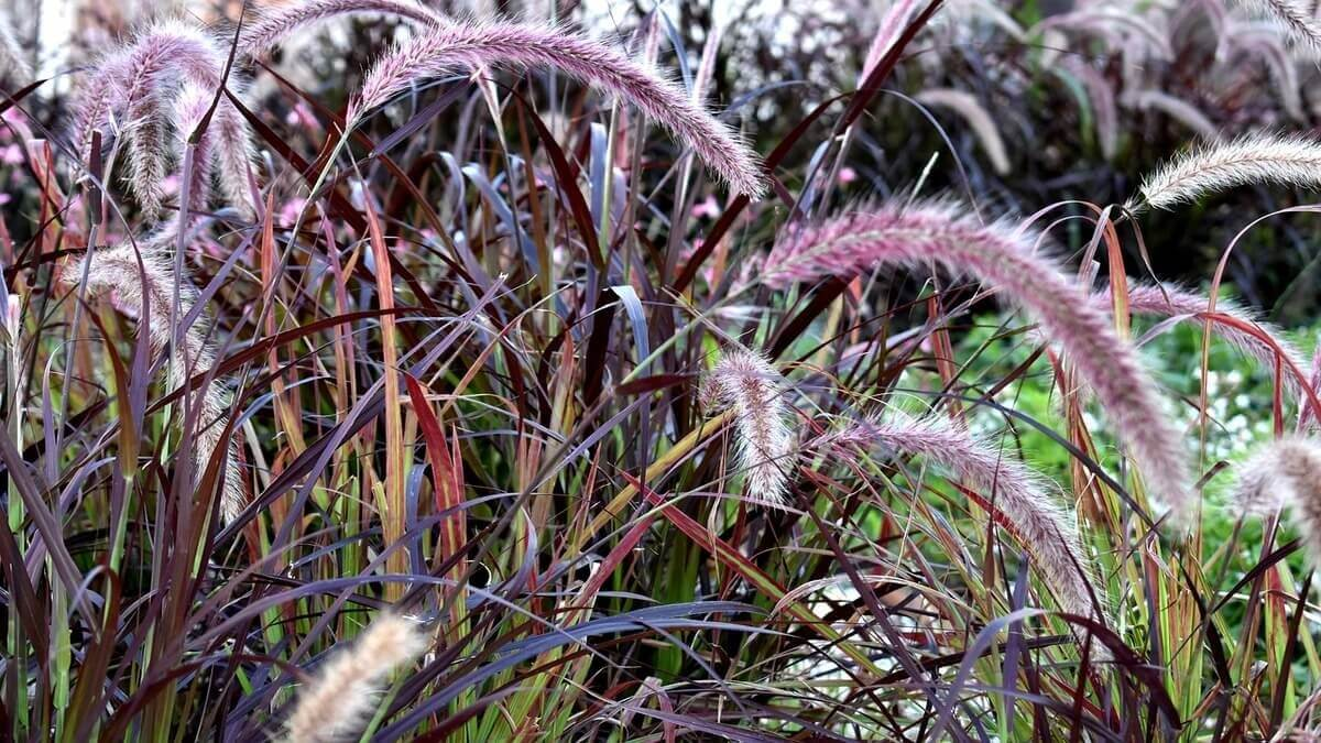 Purple Fountain Grass – Featured image