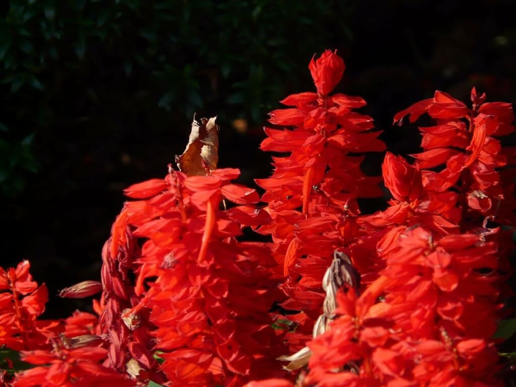 Red salvia - Uses
