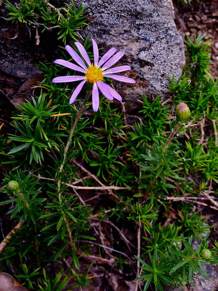 White Aster – Flax leaved