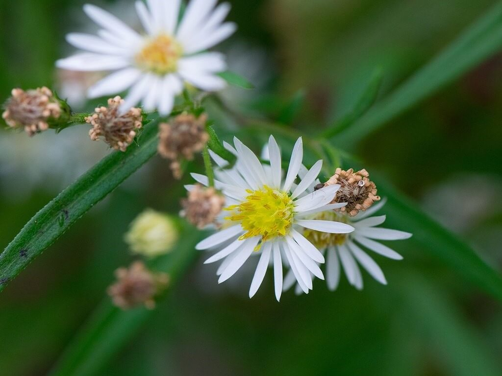 White Aster – Panicled